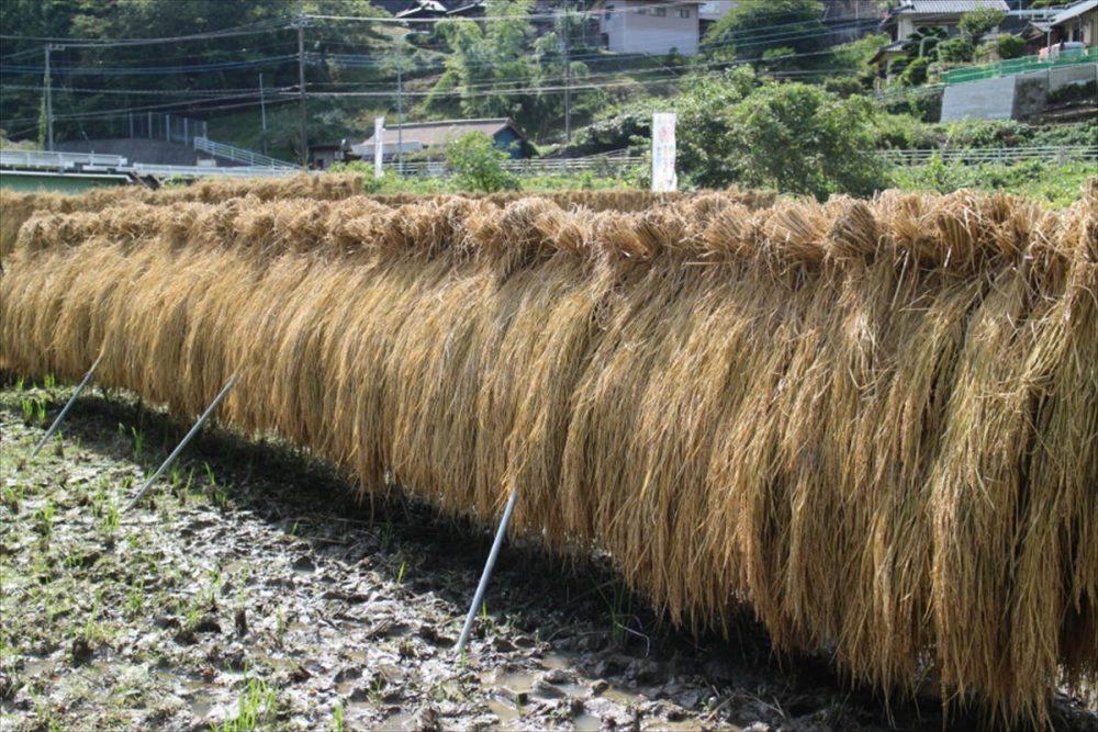 お米の収穫から脱穀と「絶品・栗の渋皮煮」レシピ