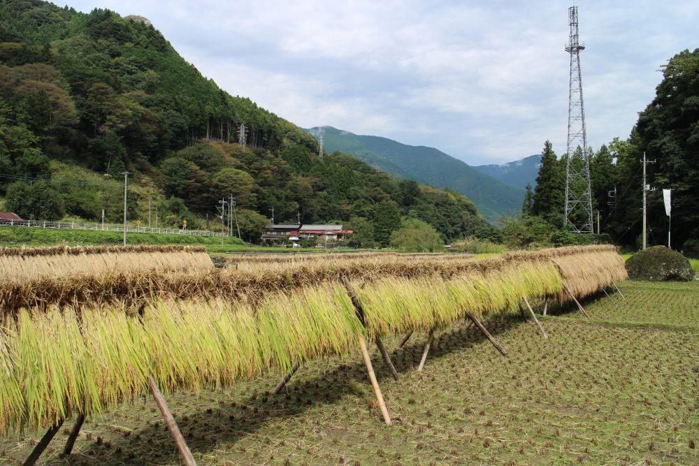 収穫後の乾燥がお米の味を決める!稲刈りと美味しくご飯を炊くコツ