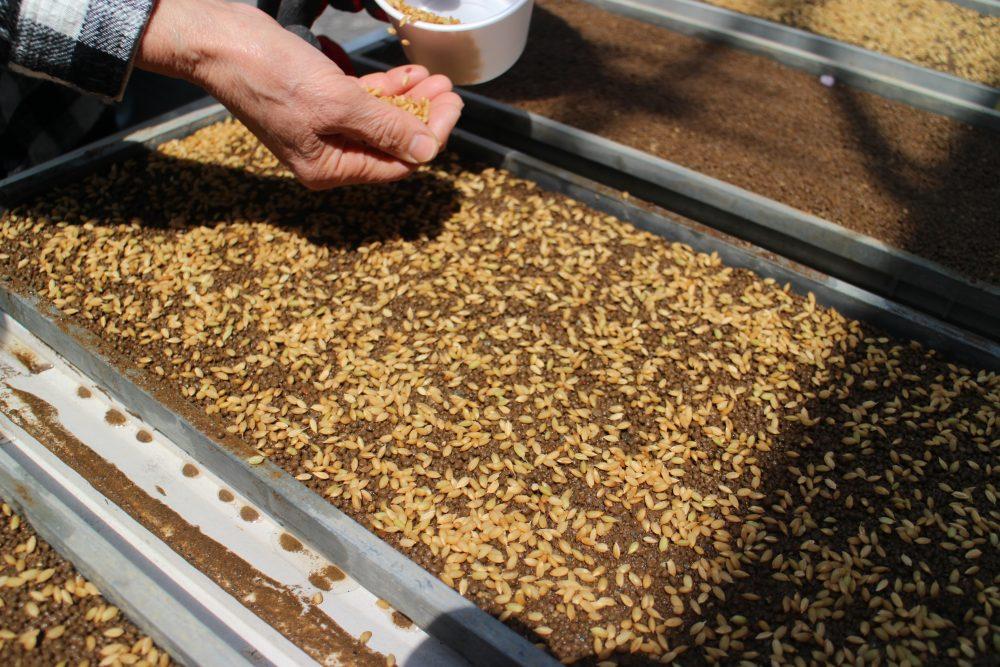 1年の田んぼの始まり「籾まき」と春の恵み